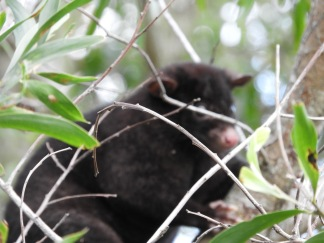 Mountain brushtail possum on our place
