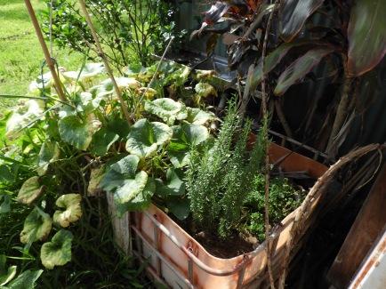 Rosemary, parsley and pumpkin