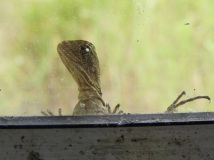 Baby water dragon at the window