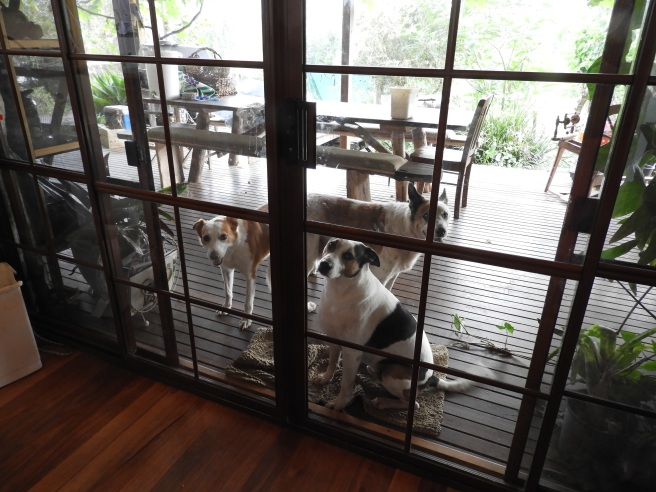 """Every morning this is what I see.  Those looks can be interpreted as """"Walk us, please."""""""