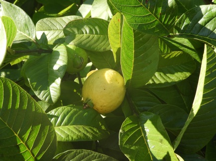 Guava - one of my favourite fruits