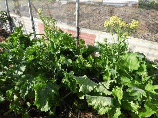 Italian broccoli #organic