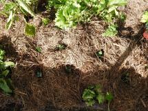 Broccoli seedings #organic
