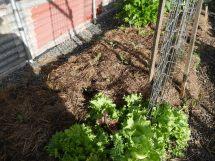 Lettuce and cauliflower seedlings #organic