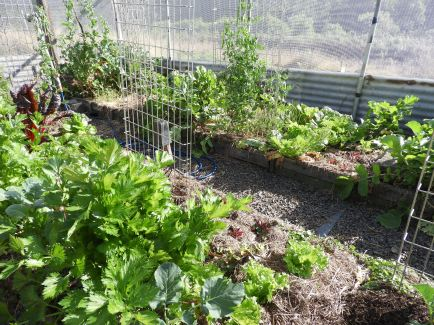 Peas, Chinese cabbage, small lettuce, shallots, onions, celery #organic