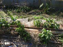 Potato plants.