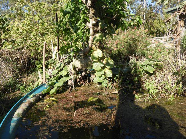 Pumpkin growing over the aquapond