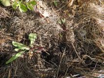 Beetroot seedlings eaten by the rat