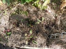 Beetroot seedlings start