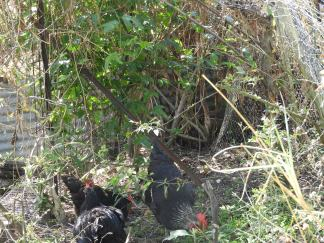 Chickens amongst the bushes #crueltyfree