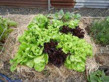 Lettuce #sustainable